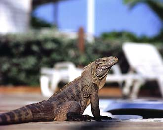 Little Cayman Island Blue Iguanas